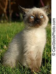 the siamese kitten