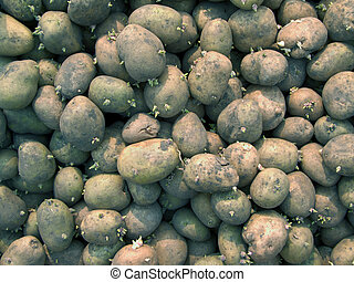 Potatoes 1 - many potatoes which prepared to plant