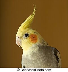 Portrait of Cockatiel with Shallow DOF, Focus on eye