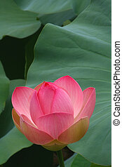 Pink Lotus - A Richly Pink Lotus Blossom is about to Open