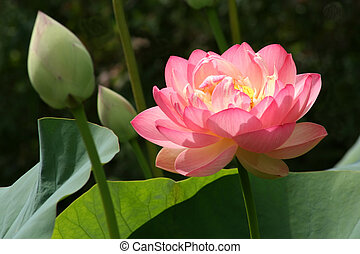 Pink Lotus Blossom - A Pink Lotus Blossom is Displayed.