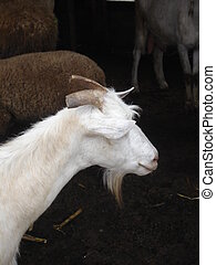 Billy goat - a billy goat seemingly smiling : Cant see Nor...