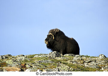 Musk Ox Ovibos Moschatus - A musk ox in Norway