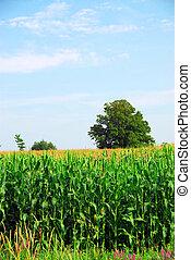 Corn field - Tall green corn growing in a field