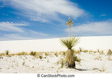 Alone in the desert - A soapweed yucca Yucca glauca plant in...