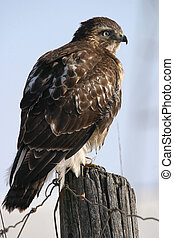 After nice lunch - wild rough legs hawk perching on post