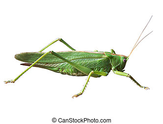 GRASSHOPPER; FAMILY OF THE LONG FEELER FRIGHTS;  Ensifera