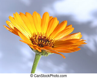 marigold - OLYMPUS DIGITAL CAMERA orange flower isolated on...