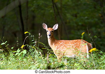 Summer Fawn 7 - Sun-lit close-up of a curious summer fawn in...
