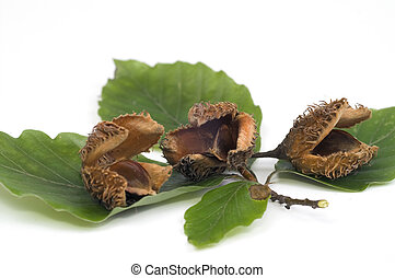 Beech nuts - Nuts of beech isolated white