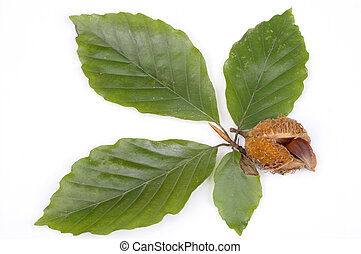 Leafs and nut - Green leafs and nut of beech isolated on...