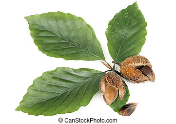 Lesfs with nuts - Green leafs and nuts of beech isolated on...