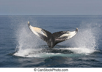 Whale Watching in Nova Scotia: Humpback is diving
