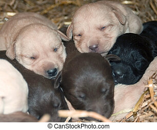 dog pile - a pile of sleeping puppies