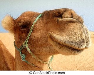 grande, camelo, headshot