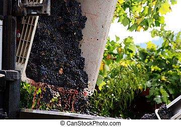 Wine making  - Grapes are picked and about to be processed