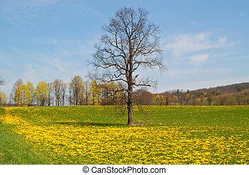 Lone Oak in a field of dandelion~spring in UpState NY~USA