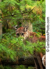 Wild Cat cougar - A Cat that is hiding in the bushes