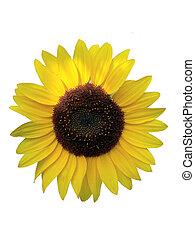 Helianthus annuus - sunflower , lat. Helianthus annuus ,...