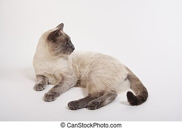 Ignoring You - A lilac-point siamese sprawls out on the...