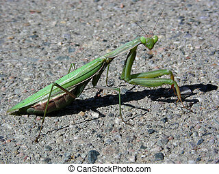 Evil Eye - Praying Mantis giving the evil eye as it travels...