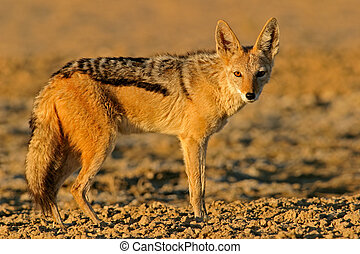 Black-backed Jackal - Alert Black-backed Jackal, Kalahari,...