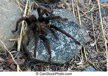 Tarantula Spider on Rock