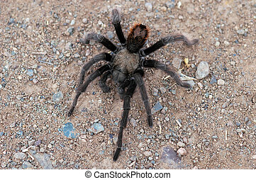 Tarantula Spider on trail