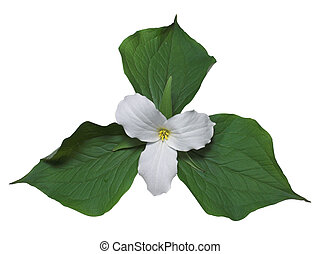 White trillium with leaves - White trillium, the floral...
