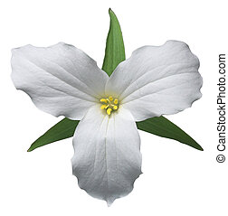 White trillium, the floral emblem of Ontario (path included)
