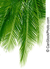 Hanging fronds - Long and green coconut palm fronds hanging...
