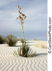 White Sands Yucca - Soaptree yucca plants grow through the...