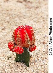 Budding cactus