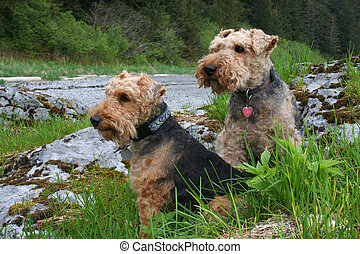 Wilson and Annie - Welsh terrier friends sitting on a rock...