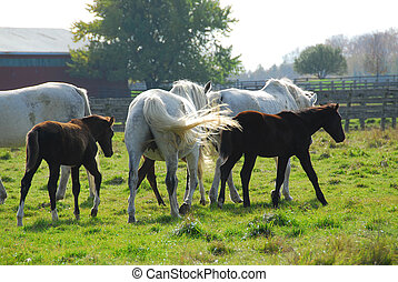 Horses on a ranch  - mares with colts