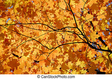 Maple leaves - Background of bright orange fall maple leaves...