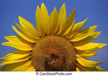 abelhas, girassol