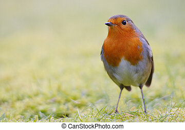 Robin on dew - A robin on a forsty morning
