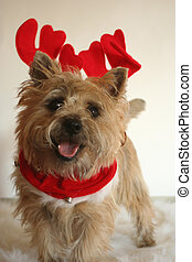 Cairn with Antlers - This is our cairn terrier with reindeer...
