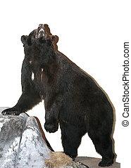 Black Bear - Isolated black bear on a rock