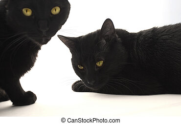 Two black cats isolated on the white bacground, focus on the...