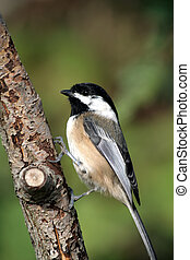 Black Capped - a Black Capped, close up