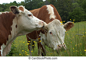Cow gossip II - Two cows appear to be whispering gossip in...