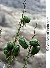 Flower pods badlands - flower seed pods at badlands south...