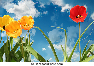 tulips - full blooming tulips against blue sky