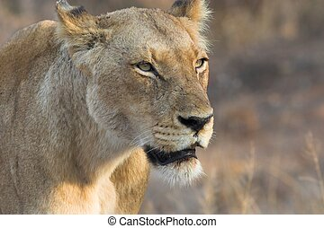 Lioness - Close up of a Lioness searching for prey
