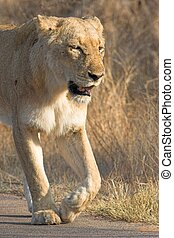 Lioness Walking - Adult lioness walking along the road...