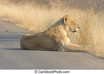 Resting Lioness - Adult Lioness resting on the tar road
