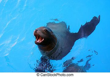 Sea Lion - A sea lion comes up for food.