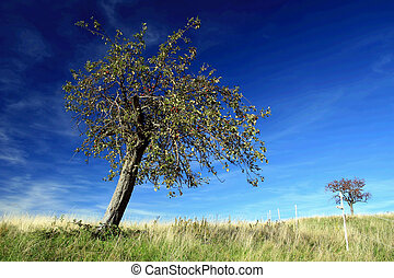 apple tree - a single apple tree before a deep blue sky